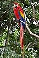 Scarlet Macaw at Kuranda-1 (6285883802).jpg