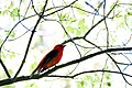 Scarlet Tanager (7235559630).jpg