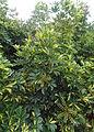 Schefflera arboricola kz2.JPG