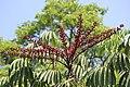 Scheflera Actionophylla.jpg