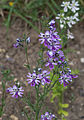 Schizanthus pinnatus - Jardin des Plantes.jpg