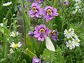 Schizanthus pinnatus 02.jpg