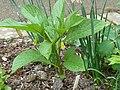 Scopolia carniolica hladnikiana.jpg
