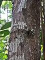 Scorodocarpus borneensis 20110125-11674 aip.jpg