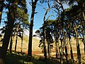 Scots Pines, Stirkfield Hope - geograph.org.uk - 610219.jpg
