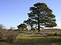 Scots pine near Ocknell Pond, New Forest - geograph.org.uk - 128180.jpg