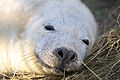 Seal - Donna Nook December 2009 (4188111883).jpg