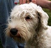 Sealyham Terrier Dog Rescue