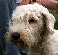 Sealyham terrier 078.jpg