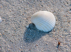 Seashell unknown.jpg
