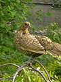Sebright hen on a branch.jpg