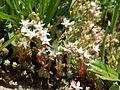 Sedum hispanicum sl2.jpg