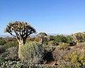 Seeding Quiver Trees - Karoo Desert National Botanical Gardens.jpg