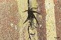 Segestria florentina No. 4 (33605369851).jpg