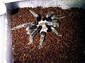 Selenocosmia Javanensis Sumatrana, My tarantula collection, Jakarta Jun 2012.jpg