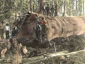 Sequoia Log.jpg