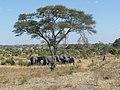 Serengeti, Tanzania - panoramio (33).jpg