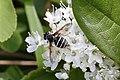 Sericomyia sachalinica (Syrphidae- Eristalinae- Eristaliini) on Ledum hypoleucum (Ericaceae) (35333147253).jpg