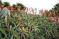 Ses Salines - Botanicactus - Aloe 08 ies.jpg