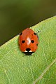 Seven-spotted Ladybird (Coccinella septempunctata) - Guelph, Ontario.jpg