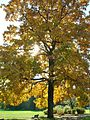 Shagbark Hickory in Elizabeth Park, West Hartford, CT - October 14, 2010.jpg