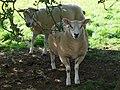 Sheep 2 (3846308910).jpg