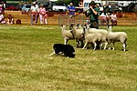 Sheep Dog Display (2620991275).jpg