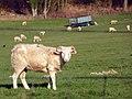 Sheeps! (5562161839).jpg