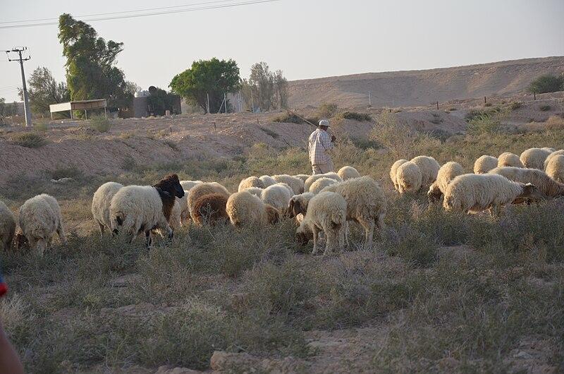File:Shepherd and sheep.jpg