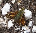 Silver-spotted Skipper Female. Hesperia comma - Flickr - gailhampshire.jpg