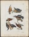 Sitta himalayensis - 1820-1860 - Print - Iconographia Zoologica - Special Collections University of Amsterdam - UBA01 IZ19200321.tif