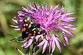 Six-spot burnet moth (Zygaena filipendulae) mature adult.jpg