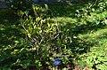 Skimmia japonica var. oblata.jpg