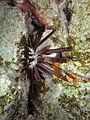 Slate pencil urchin at Abu Basala.JPG