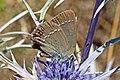 Sloe hairstreak (Satyrium Acaciae) Macedonia.jpg