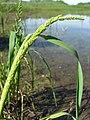 Sloughgrass (3815747351).jpg