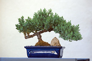 A small table top bonsai.