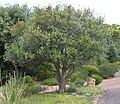 Small Cassine peragua tree Cape Town 6.jpg