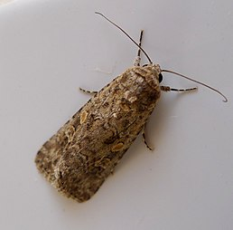 Small Mottled Willow. Spodoptera exigua - Flickr - gailhampshire.jpg
