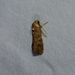Small Mottled Willow Moth.jpg