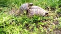 File:Small tortoises mating.webm