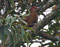 Smoky-brown woodpecker.jpg
