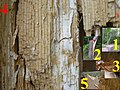 Snag tree fomitopsis pinicola white rot on picea 4 beentree.jpg
