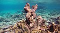 Snorkeling Karpata Reef, Bonaire (12842383794).jpg