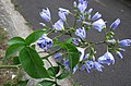 Solanum wendlandii (11396982926).jpg