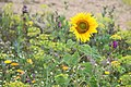 Sonnenblume randbluehstreifen biene lebenswertes chemnitz.JPG