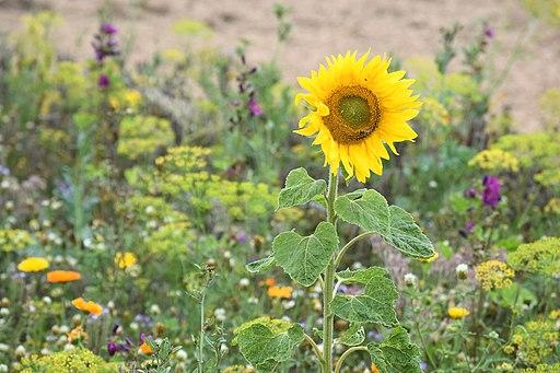 Sonnenblume randbluehstreifen biene lebenswertes chemnitz
