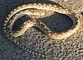 Sonoran Gopher Snake Sahuarita Arizona 2013.jpg