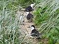 Sooty Terns (32430092412).jpg