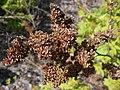 Sorbaria sorbifolia 2017-05-16 0354.jpg
